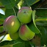 Kelowna Apples I Art Print
