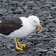 Kelp Gull Art Print