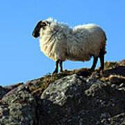 Kerry Hill Sheep Art Print