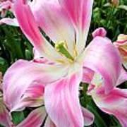 Keukenhof Pink Lily Art Print