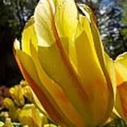 Keukenhof Yellow Tulips Art Print
