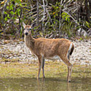 Key Deer Portrait Art Print