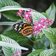 Key West Butterfly Conservatory - Monarch Danaus Plexippus 2 Art Print