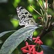 Key West Butterfly Conservatory - Idea Leuconoe Art Print