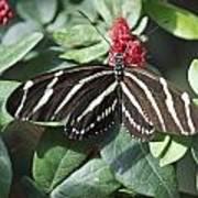 Key West Butterfly Conservatory - Zebra Heliconian Art Print