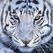 Khan The White Bengal Tiger Art Print