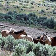 Kiger Mustangs At Mineral And Water Source Art Print