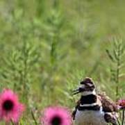 Killdeer And Tennessee Coneflowers Art Print
