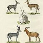Kinds Of Antilopes Art Print