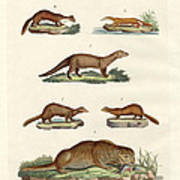 Kinds Of Otters And Marten Art Print