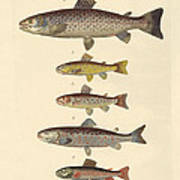 Kinds Of Trouts Art Print