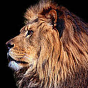 King Of Beast Art Print