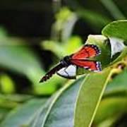 King Of The Butterflies Art Print