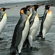 King Penguins Coming Ashore Art Print