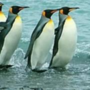 King Penguins Going To Sea Art Print