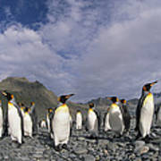 King Penguins On Rocky Beach South Art Print