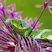 King Swallowtail Caterpillar Art Print