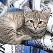 Kitten In The Blanket Art Print