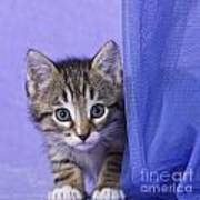 Kitten With A Curtain Art Print
