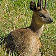 Klipspringer Antelope Art Print