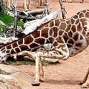 Kneeling Giraffe Art Print