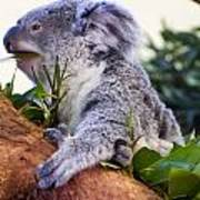 Koala Eating In A Tree Art Print
