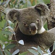 Koala Male In Eucalyptus Australia Art Print