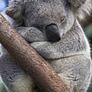 Koala Male Sleeping Australia Art Print