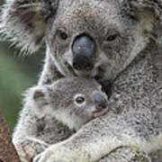 Koala Mother Holding Joey Australia Art Print