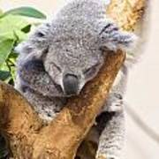 Koala Sleeping  Art Print