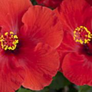 Kokio Ulaula - Tropical Red Hibiscus Art Print