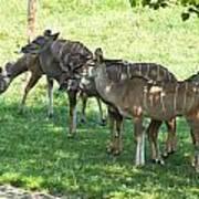 Kudu Antelope In A Straight Line Art Print