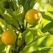 Kumquats Art Print