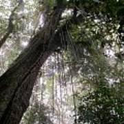 La Tigra Rainforest Canopy Art Print