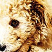 Labradoodle Dog Art - Sharon Cummings Art Print