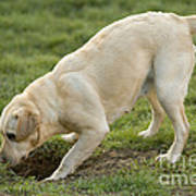 Labrador Checking Hole Art Print