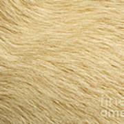 Labrador Coat Art Print