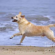 Labrador Cross Dog Running Art Print by Geoff du Feu