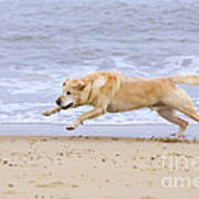 Labrador Dog Chasing Ball On Beach Art Print