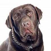 Labrador Dog Portrait  Art Print
