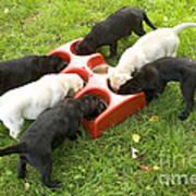 Labrador Puppies Eating Art Print