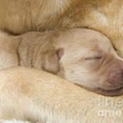 Labrador Puppy On Mother Art Print