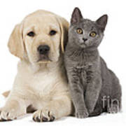 Labrador Puppy With Chartreux Kitten Art Print