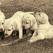 Labrador Retriever Puppies And Feather Vintage Art Print