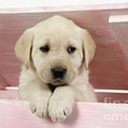Labrador Retriever Puppy Art Print
