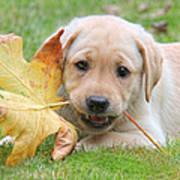Labrador Retriever Puppy With Autumn Leaf Art Print