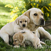 Labrador With Young Puppies Art Print