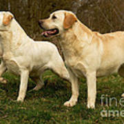 Labradors Art Print
