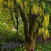Laburnum Tree In Bloom Art Print