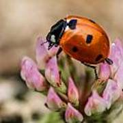 Lady Bug On Clover Art Print